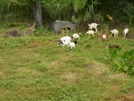 Goats outside of our room in La Haut