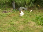 Goats outside of our room at La Haut
